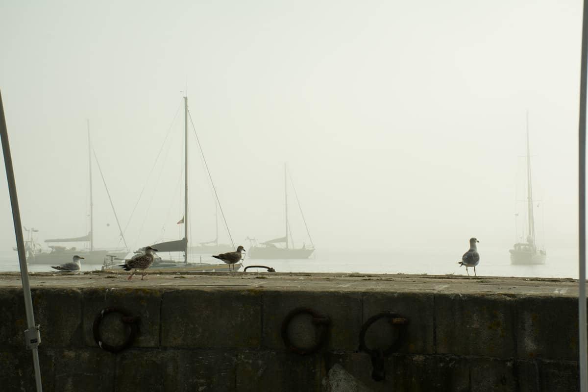 fåglar i dimma