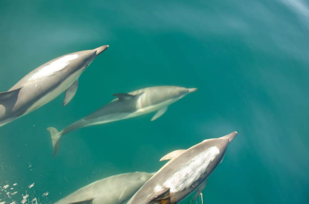 delfiner i vattnet